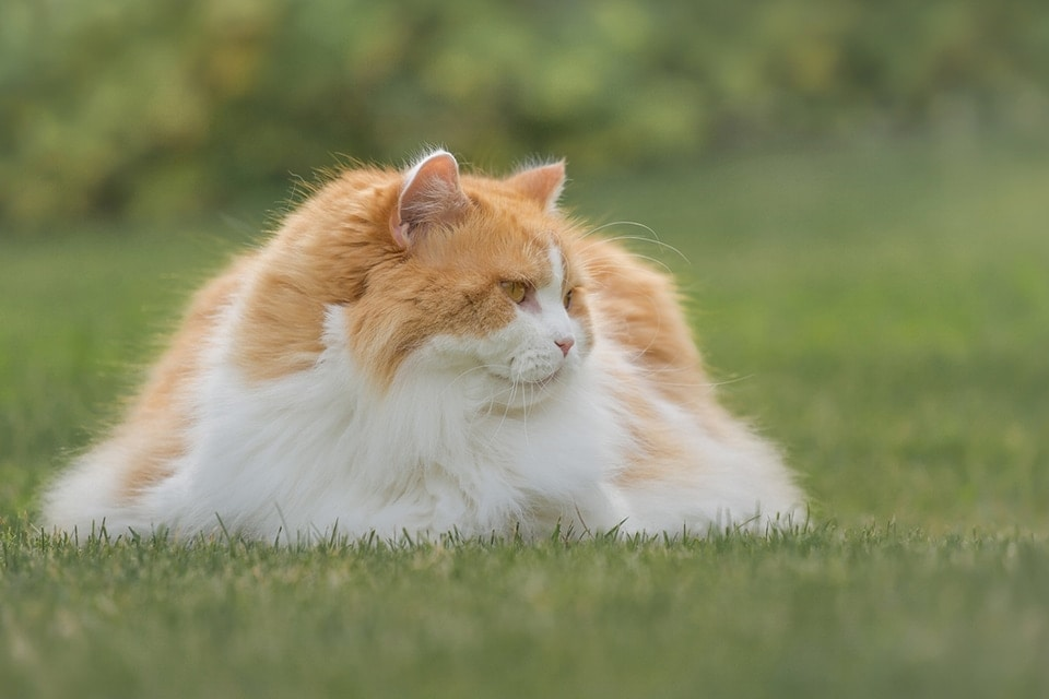 Long haired cat lying on the grass