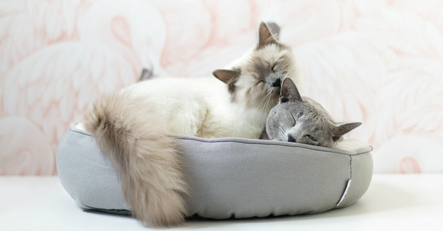 Сat licks another cat